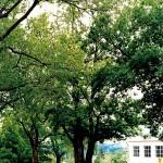 Baker-Locust-Tree-1