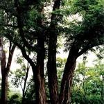 Baker-Locust-Tree-2