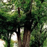 Baker-Locust-Tree-3