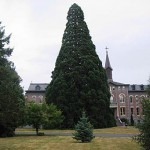 Benedictine Sequoia