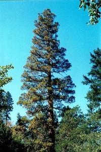 Britt Sequoia