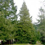 Port Orford Cedar