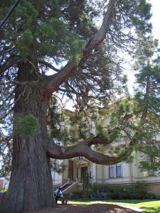 Captain Flavel Trees