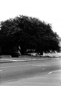 Courthouse Elm