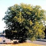 Nyberg Chestnut