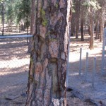 Shrapnel Tree