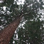 Courthouse Sequoia