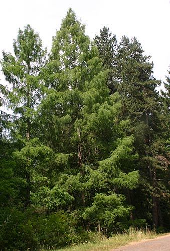 Dawn Redwood - Oregon Travel Experience