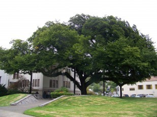 The Courthouse Elm is located at the Douglas County Courthouse in Roseburg.
