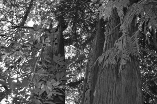 Image of the 2012 Oregon Heritage Tree Program honoree The Shipley Cook Grove