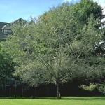 OSU Trysting Tree 002