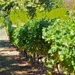 Shipley-Cook vineyard