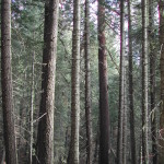 Sugar Pine Trees