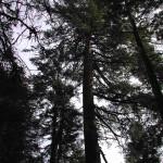 Sugar Pine Canopy