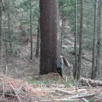 Largest Sugar Pine in Tub Springs Wayside