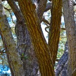 The tree has multiple branches that are the same size as a normal tree's trunks.