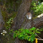 """The mid section of the tree showing an older """"pruning"""" of a large branch."""