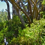 The tree is huge.