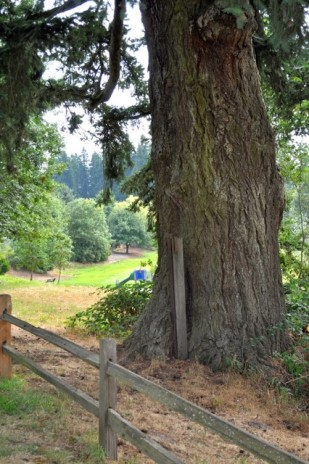 Image of the R.V. Short Oregon Heritage Fir Tree (Oregon Travel Experience) by Charlotte Lehan. Copyrighted image.