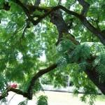 Aurora Colony Black Walnut leaves