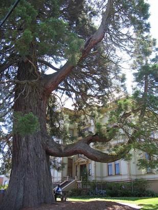 Captain Flavel Heritage Tree
