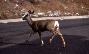 deer2