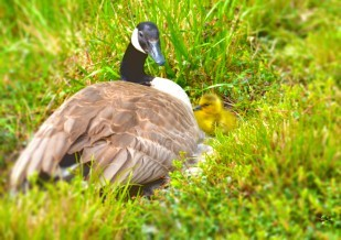 Image of a goose and baby goose at the Oregon Travel Experience Heritage Tree event in Salem, OR