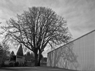 Lee TreePhoto 4_5_15 from PCI Lot