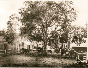 oak-tree-18630001