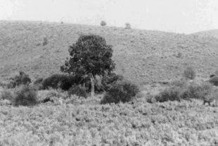 sheepshooter-tree-copy