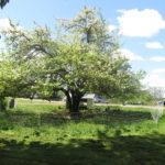 Hawthorne Apple